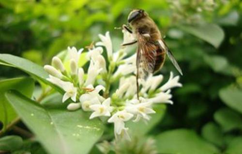 椴树蜂蜜原料