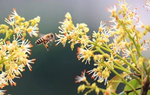 荔枝蜂蜜原料