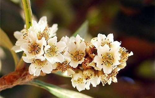 琵琶蜂蜜原料