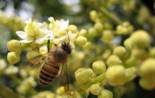 龙眼蜂蜜原料
